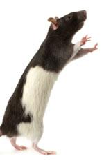 deratisation lutter contre les rats et les souris. Black Bedroom Furniture Sets. Home Design Ideas
