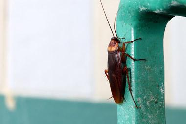 insecte cafard