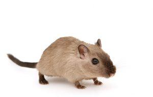 dératisation paris rat souris