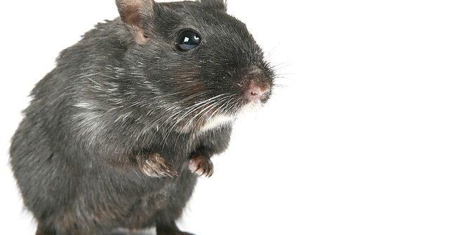 Rat - dératiser