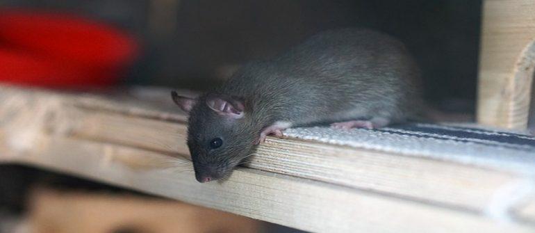 rat dératisation